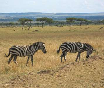 Zebras with on a drive