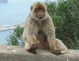 Barbary Ape in Gibraltar
