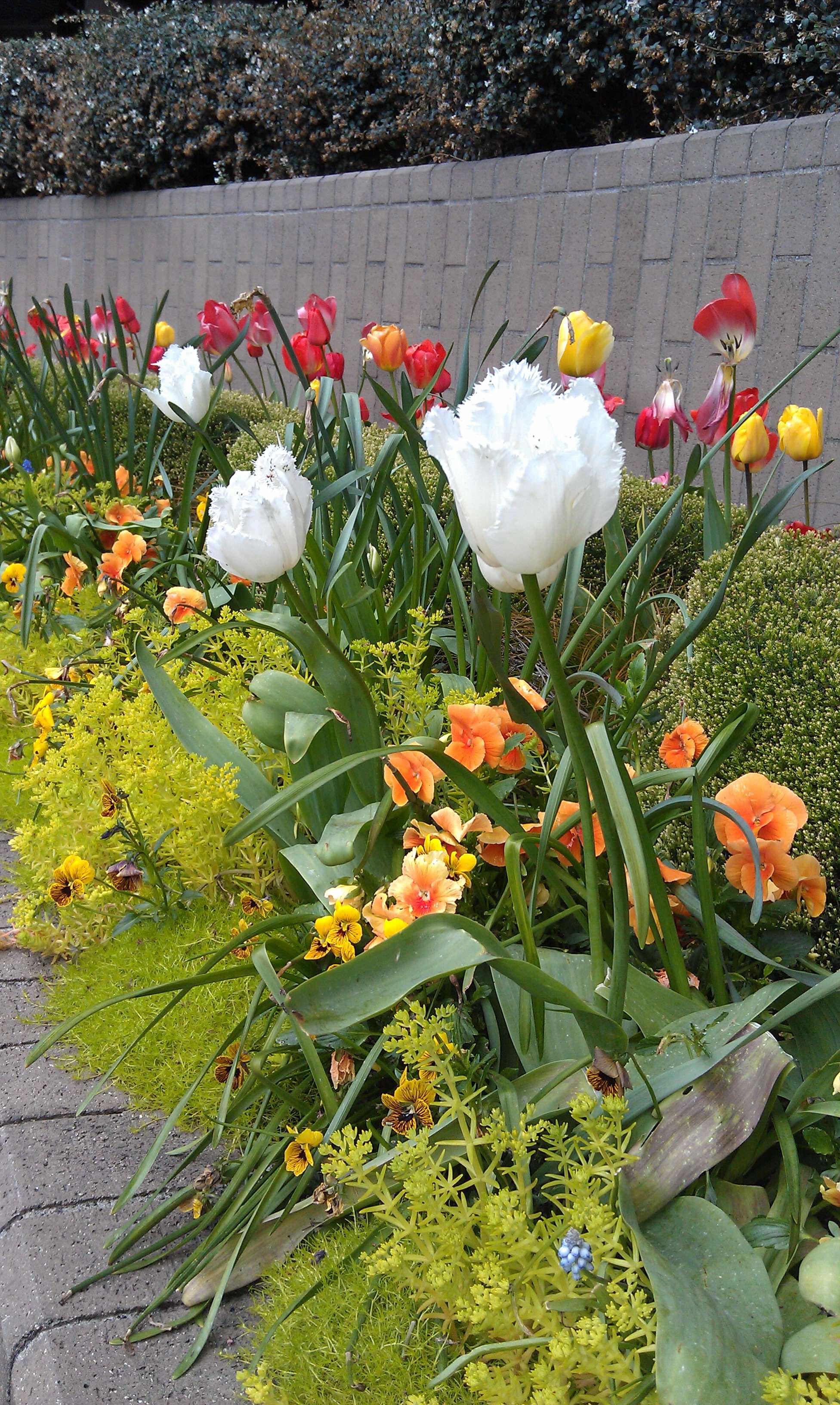 CC_HAL HQ Tulips