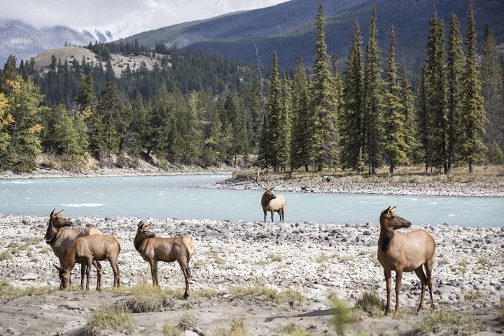 Canadian Rockies wildlife
