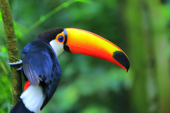 A Colorful Toucan