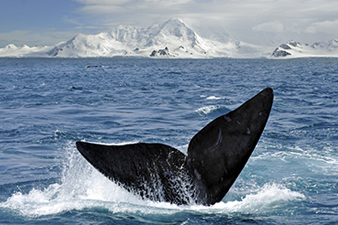 Whale Watching in the Antarctic
