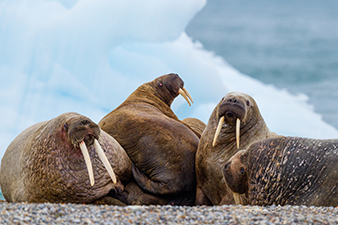 The Arctic Walrus