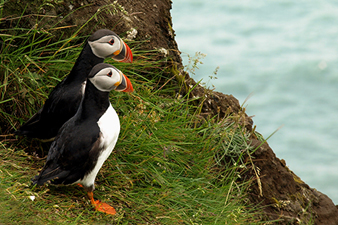 Indigenous Puffins