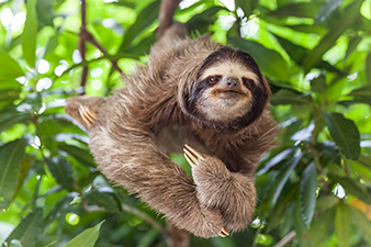 A Sloth Relaxing in a Tree
