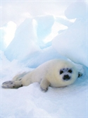 Luxury Cruise - Silversea Cruises, sailing to Antarctica  for 10 - 18 NIGHT ANTARCTICA CRUISE